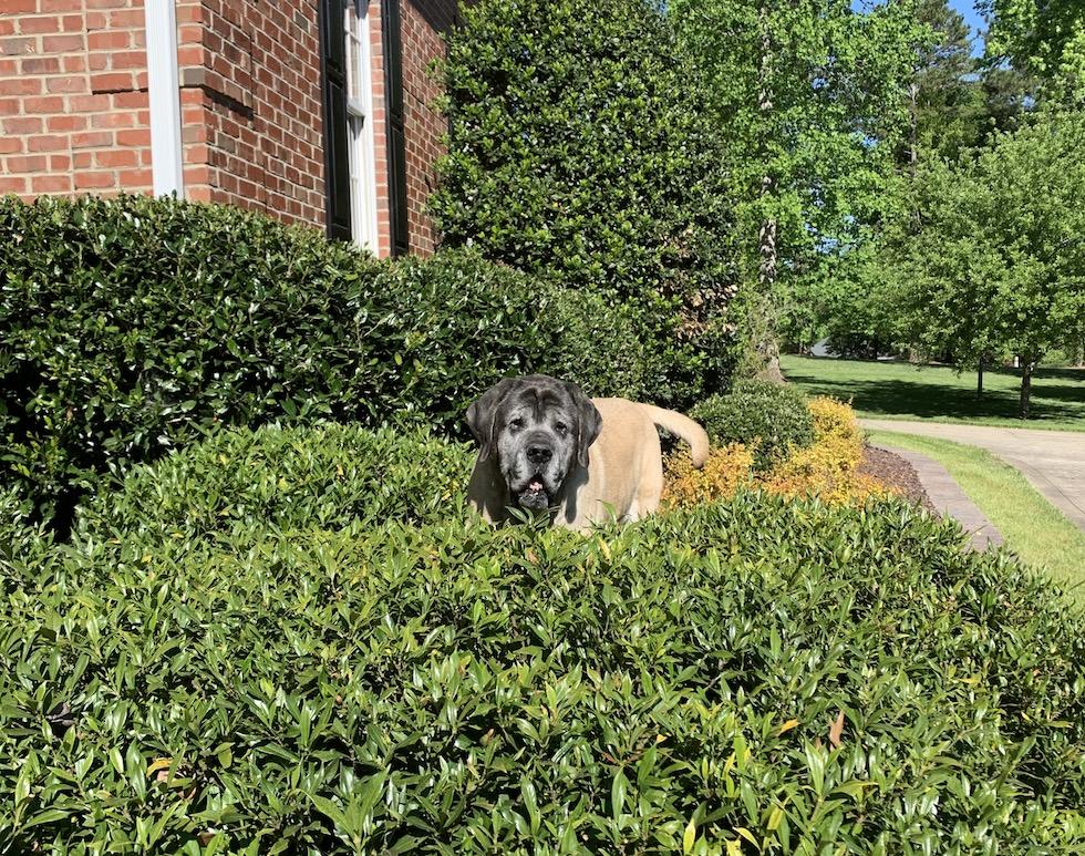 My English mastiff, Lilly